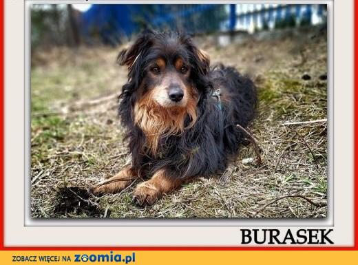 Niewielki 11 kg,wrażliwy,tulaśny,b.przyjazny,szczepiony psiak BURASEK.Adopcja.,  małopolskie Kraków