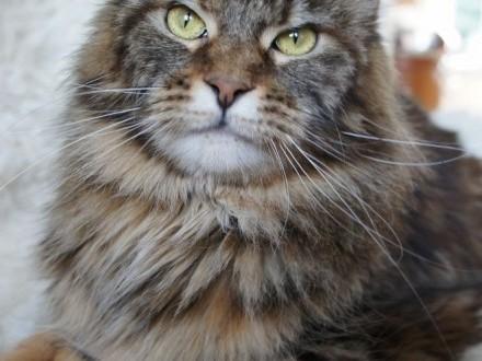 Piękne kocięta Maine Coon - gotowe do odbioru