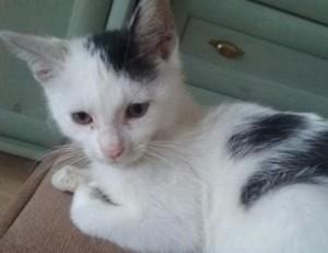 Mała - 12 tygodniowa biała koteczka