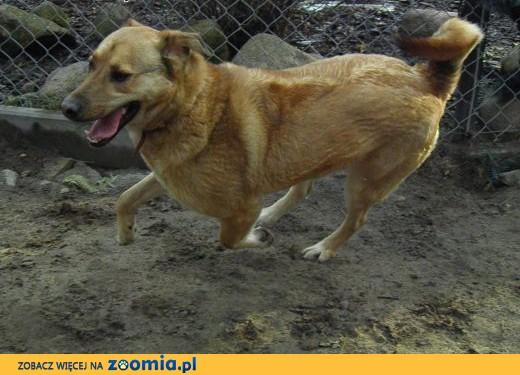 Maciek duży i  energiczny młody pies,  wielkopolskie Poznań
