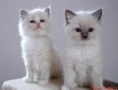 Ragdoll kochane kocięta z hodowli Teo-Cat*PL