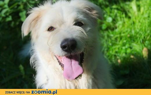 Czester - duży biał pies szuka domu,  śląskie Katowice