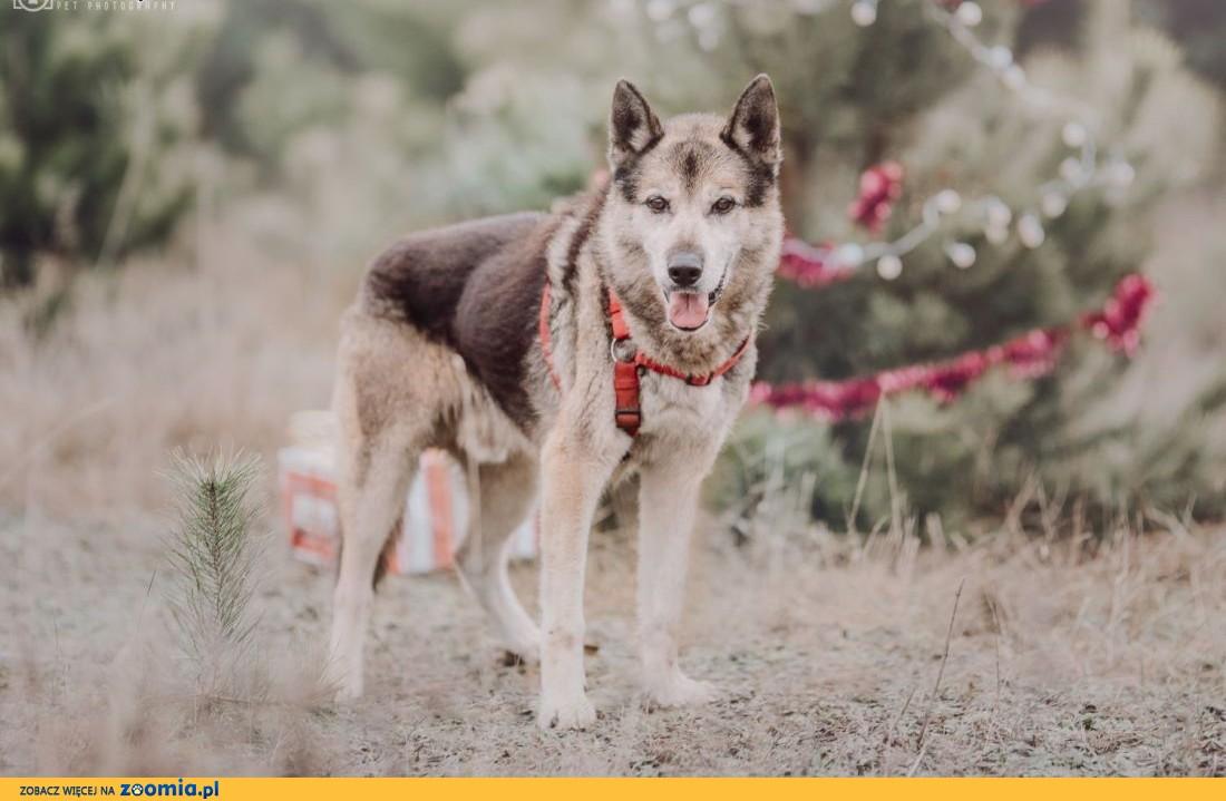 GIENEK 8 letni duży pies w typie pierwotnym,  mazowieckie Warszawa