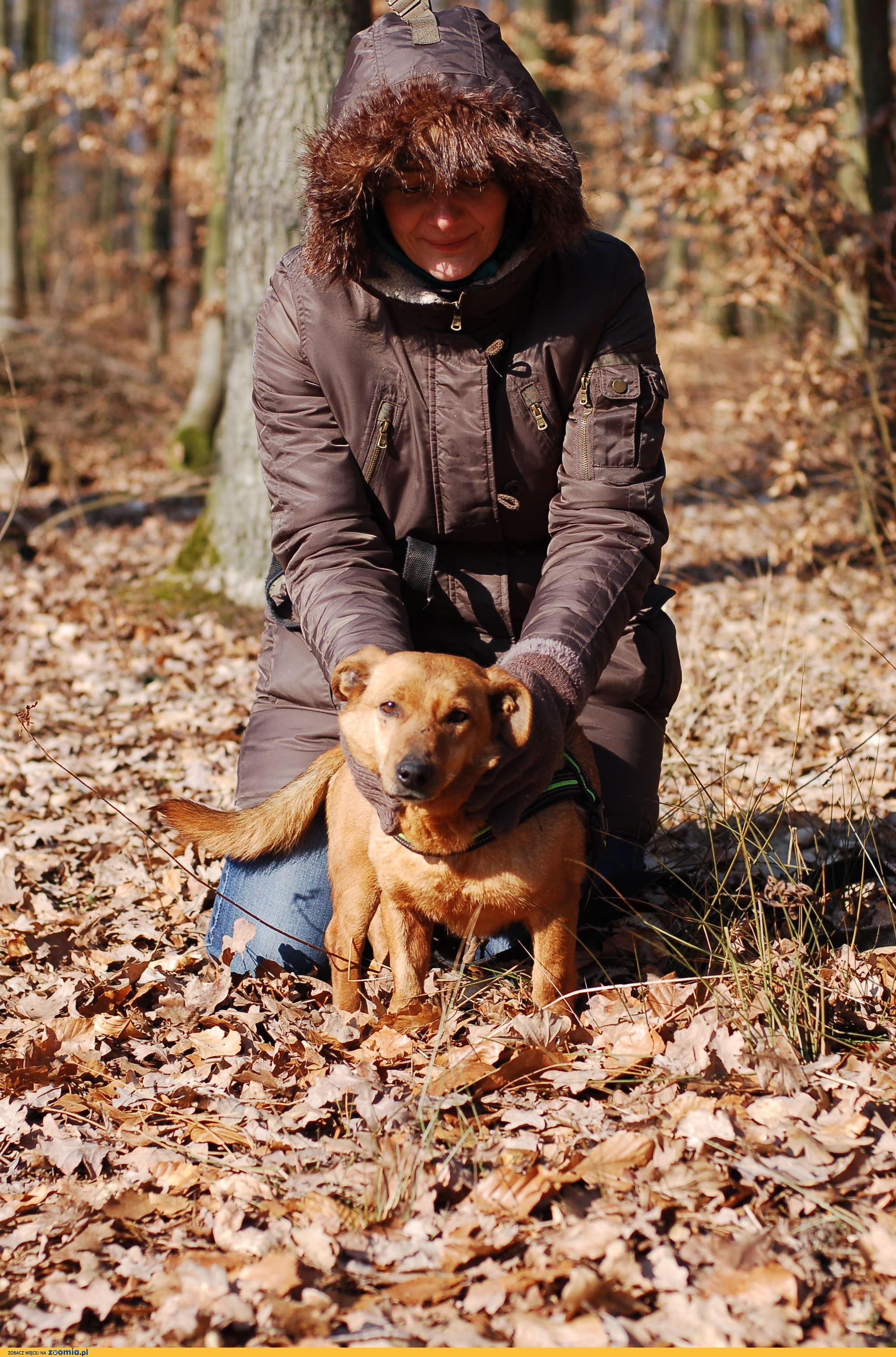 Nieduży Rudy, wspaniały spacerowicz, psi przytulas do adopcji!