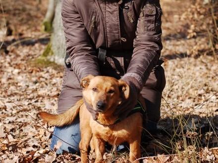 Nieduży Rudy  wspaniały spacerowicz  psi przytulas do adopcji!