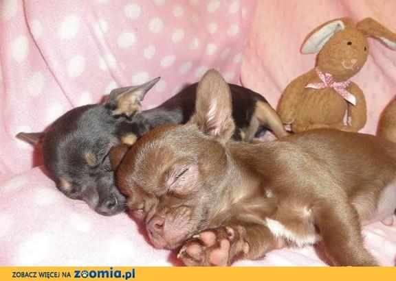 Doskonałe Chihuahua w pięknych kolorach