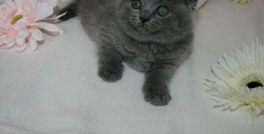 Rodowód Brytyjskie Niebieskie Kociaki * Gotowy świąteczne *   mazowieckie Legionowo