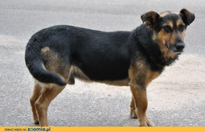 Guliver psi wędrowiec szuka domu