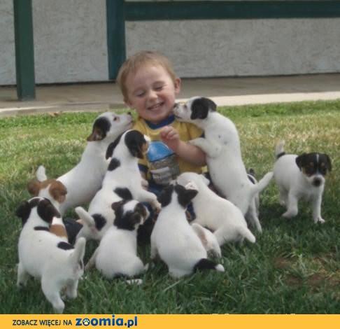 Jack Russell Terrier Szczenięta