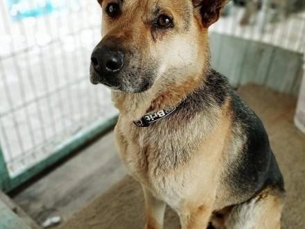KARO piękny psiak w typie owczarka niemieckiego szuka dobrego kochającego domku