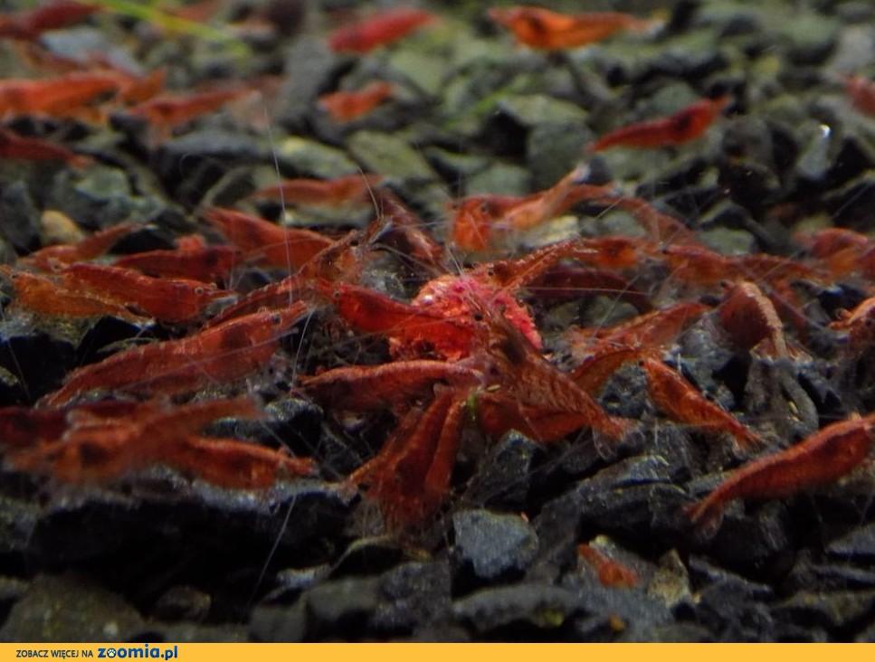 Krewetki Neocaridina Red Cherry