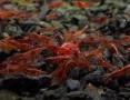 'Krewetki Neocaridina Red Cherry