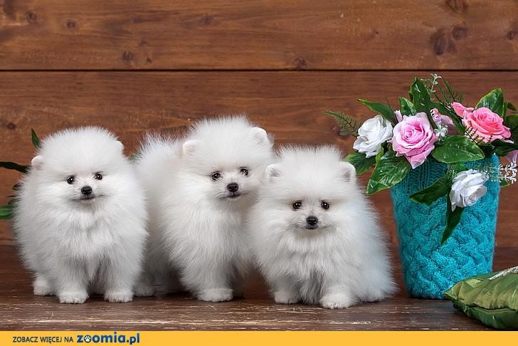 Boże Narodzenie Prezent Maluchy Pomeranian czekają na Ciebie!