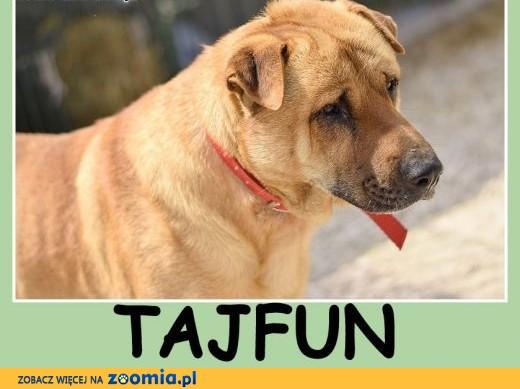 35 kg,mix shar peia,do domu z ogrodem, ,czujny odważny pies TAJFUN.Adopcja,  mazowieckie Warszawa