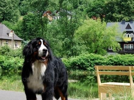 Berneński pies pasterski piękny Reproduktor FCI