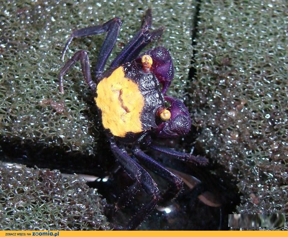 Krab Vampire i Red Devil ( Geosesarma ) - ZooWitek