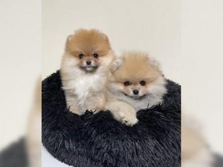 Bezcenny Biały Pomeranian Szczeniak