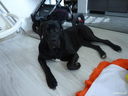 Modish Ogłoszenia: oddam psa, oddam szczeniaka Cane Corso pl 1 QJ91