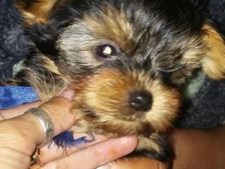 Piesek York Shire Terrier z rodowodem