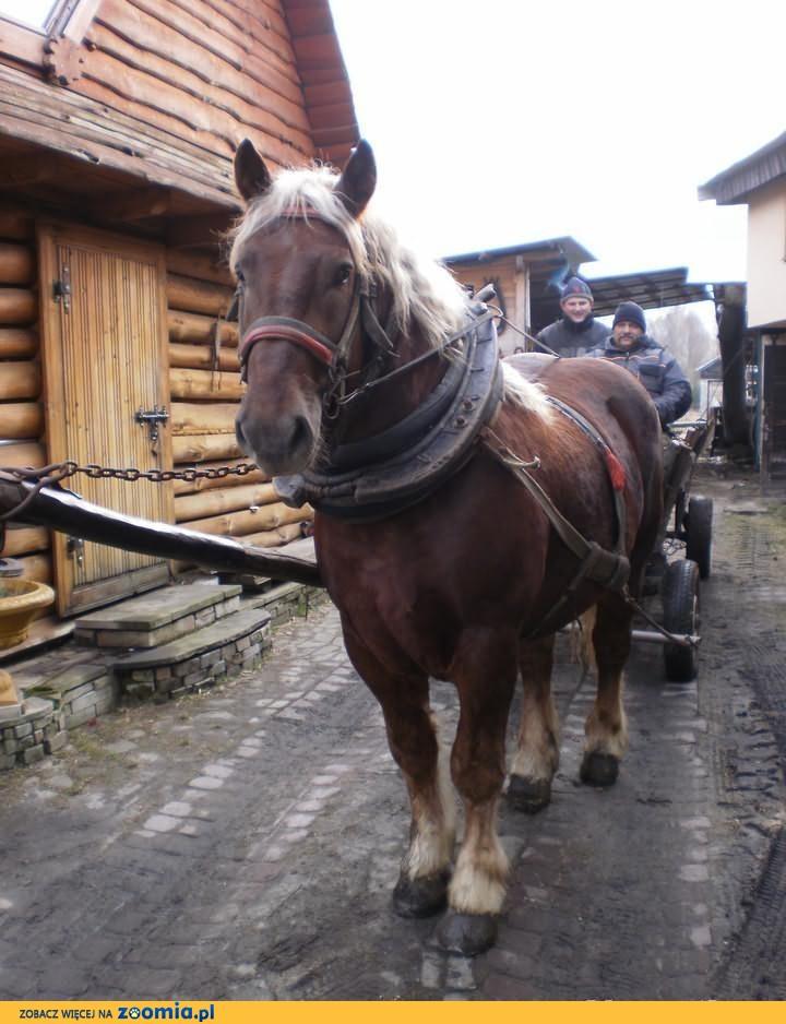 Piękny koń zimnokrwisty