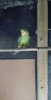 Sprzedam papuge Barabanda