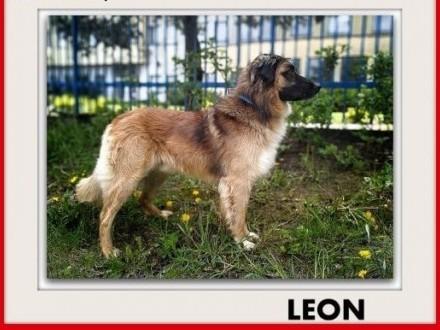 1 5roku duży 40kg łagodny towarzyski szczepiony pies LEONAdopcja   łódzkie Łódź