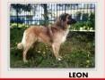 1,5roku,duży,40kg,łagodny,towarzyski,szczepiony pies LEON.Adopcja,  łódzkie Łódź