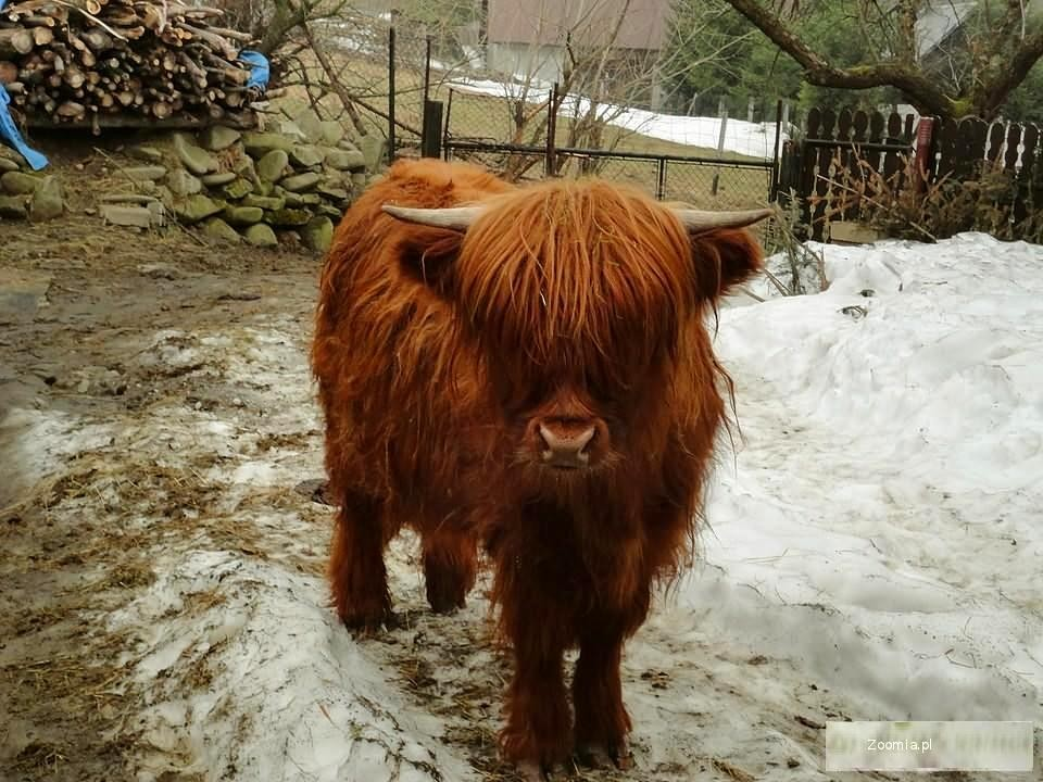 Highland Cattle bydło szkockie wysokogórskie