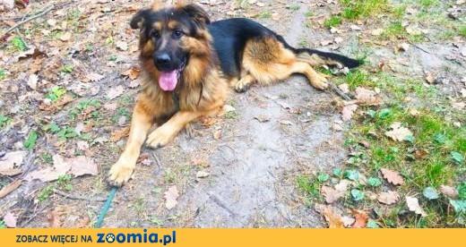 Młody Ivo, pozytywny OWCZAREK, inteligentny pies do adopcji!,  Kundelki cała Polska