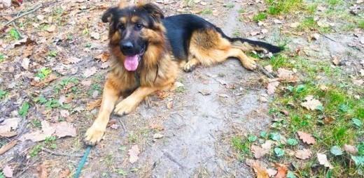Młody Ivo  pozytywny OWCZAREK  inteligentny pies do adopcji!   Kundelki cała Polska