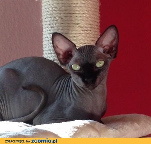 Kot Sfinks Ogłoszenia Z Hodowli Koty Sfinks Zoomiapl Pl 1