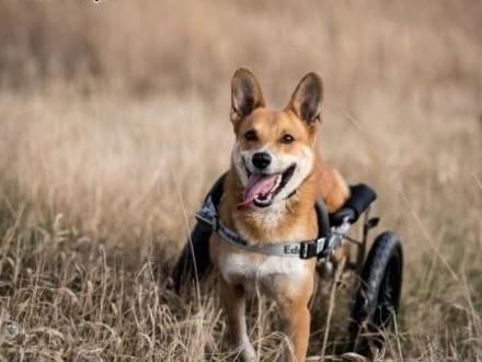 TOFFIK - nieustająca radość w nim jest - na wózku cudny to pies!   dolnośląskie Wrocław
