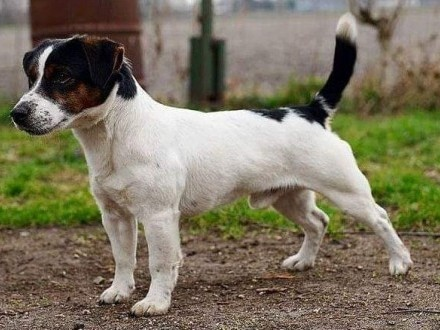 Jack Russell Terrier REPRODUKTOR