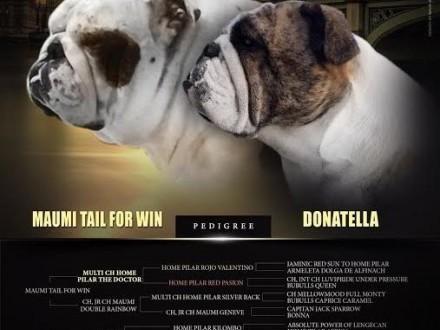 Bulldog Angielski   Buldog cała Polska