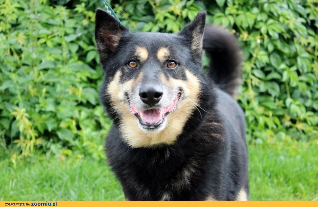 Joker-duży, energiczny i przyjazny pies!,  śląskie Częstochowa