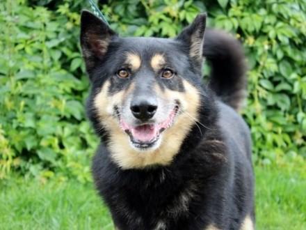Joker-duży  energiczny i przyjazny pies!   śląskie Częstochowa