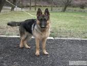 Owczarek niemiecki - pies