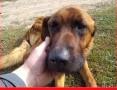Piękny leonberger mix,inteligentny,duży pies LEON po przejsciach.PILNA ADOPCJA!,  dolnośląskie Wrocław