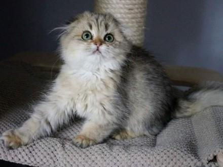 Piękna kotka szkocka