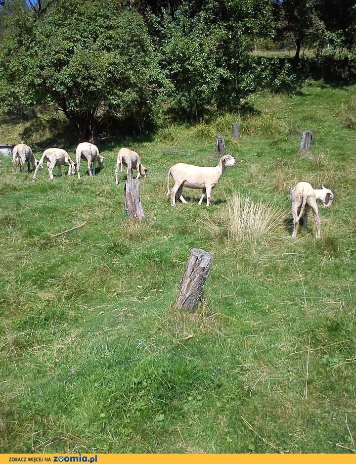 Owce:)