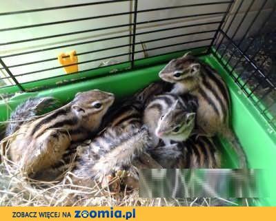 Wiewiórki Syberyjskie BURUNDUK