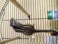 'Wiewiórki Syberyjskie BURUNDUK