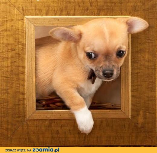 Chihuahua o imieniu Komar,  rodowód ZKwP/FCI, maleńki szczeniaczek,  łódzkie Łódź