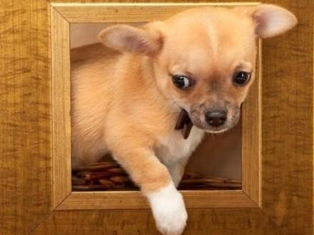 Chihuahua o imieniu Komar   rodowód ZKwP/FCI  maleńki szczeniaczek   łódzkie Łódź