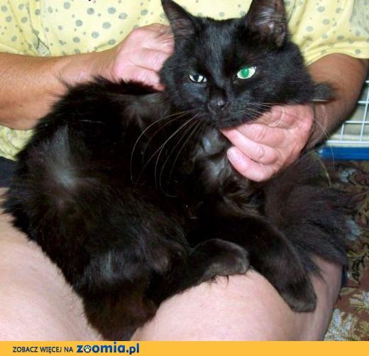 ZNALEZIONO czarną kotkę w typie rasy!!!,  mazowieckie Radom
