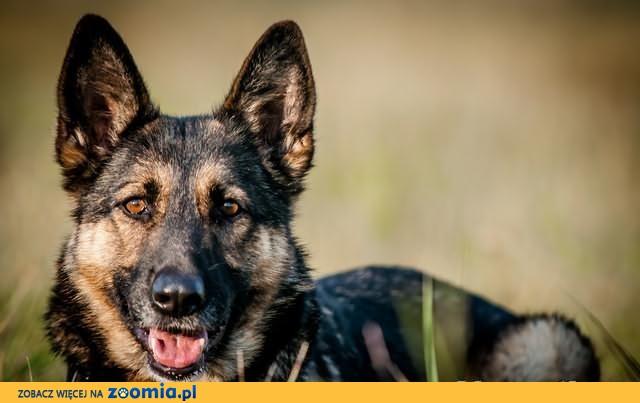 CLIO-zrównoważona i KOCHANA - lubi DZIECI i psy-OWCZAREK do adopcji