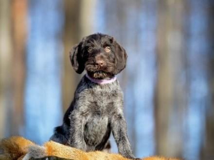 Wyżeł niemiecki szorstkowłosy - pies z metryką ZKwP