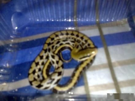 Węże tajwańskie ŁÓDŹ