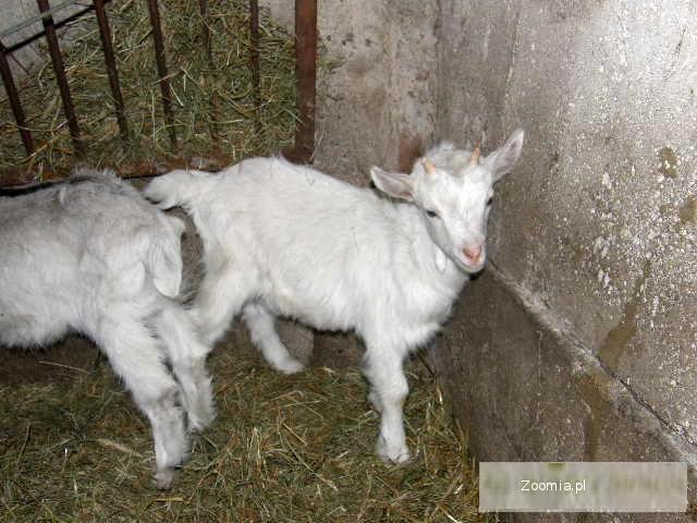 sprzedam koze mleczną z parą koźlaków