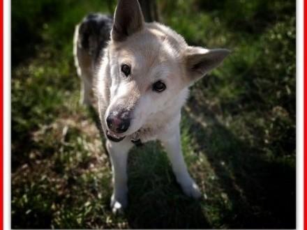 25kg duży łagodny pies szczepiony do domu z ogrodem  ŁAJEKAdopcja   pomorskie Gdańsk